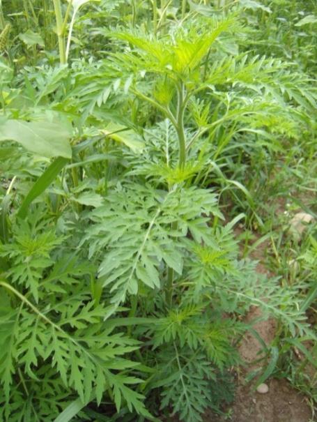 feuilles d'ambroisie