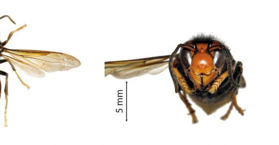 Description frelons asiatiques