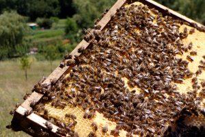Les abeilles domestiques du Rucher communal