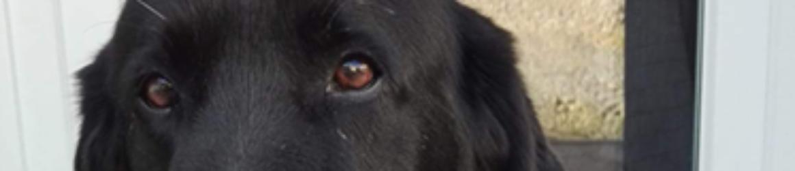 Un labrador noir trouvé ce weekend
