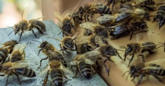 Abeilles-renaissance du rucher communal